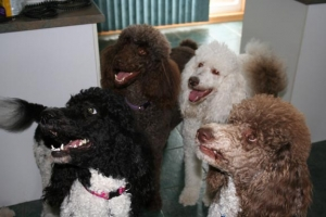 What colour can the standard poodle be ?